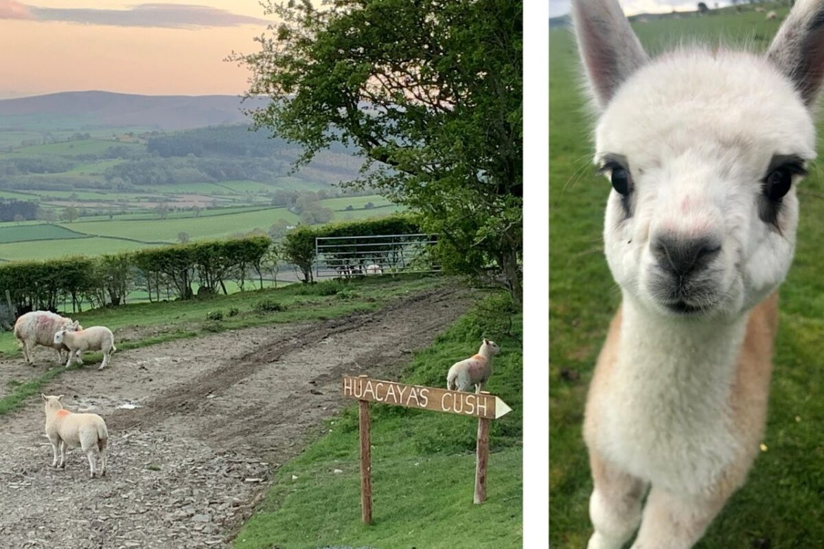 The sheep and alpacas are your only neighbours at the luxurious Huacayas Cush at Fostings Farm, Presteigne, Wales